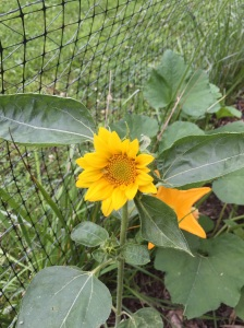 The sunflower that the boy plant!