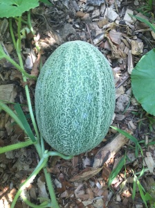 Our beautiful muskmelon