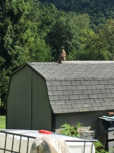 Red tail hawk!