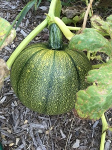 More green pumpkins!