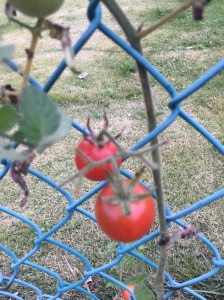 The last of the tomatoes!